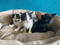 Black and White Kittens and one all black kitten