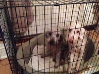 2 bedlington terriers