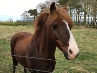 Gorgeous 13.1hh Welsh B Gelding Pony