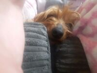 Male yorkie good home only