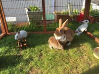Rex rabbit female 2 years old looking for forever home asap