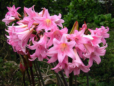 Surprise Lily (10 Amaryllis Belladonna - Pink Naked Ladies - Surprise)