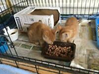 Ginger female kittens