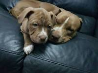 *READY TO LEAVE* French Mastiff X Staffordshire Bull Terrier