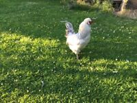 Araucana rooster silver 3-4 years old free to a good home
