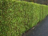 LAUREL HEDGING PLANTS. 12/14. Ins. £1-95