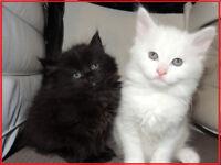 <><> AMAZING litter of Siberian x kittens <><>