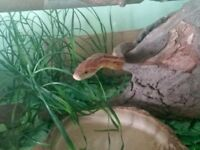 Sweet natured corn snake for sale with all accessories