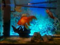 Fish tank with table and gold fish 100L (~20gal)