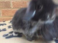 Female baby mini lop rabbit for sale
