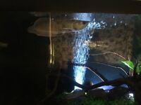 Stunning large fish tank with arowana Oscar and tinfoil barb