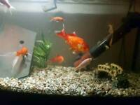 4 white gold fish for sale
