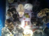day old mixed chicks