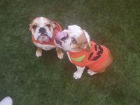 2 left stunning English Bulldog Girls only 999
