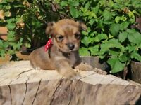 Teacup Chorkie and Jack Russell X Lakeland Terrier Puppies