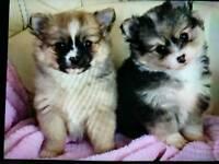 Pomeranian x chihuahua puppies
