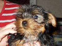 YORKSHIRE TERRIER DOG KC.REG