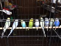 10 budgies and large cage