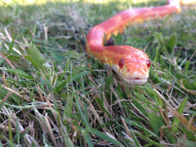 Well Handled (Inc By Chilren) Rescue Corn Snakes In Need Of Loving Homes Ideal Beginner Reptiles