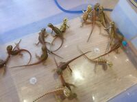 High End Baby Bearded Dragons, HYPO TRANSLUCENT & HYPO Het TRANSLUCENT