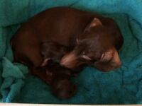 Miniature smooth haired chocolate and tan dachshunds