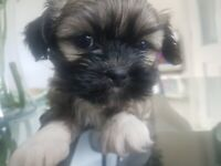 Shihtzu/lhapso puppies only 2 boys left