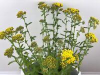 Yarrow / achillea millefolium flower plant