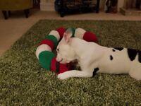 5 month old English bulldog bitch