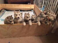 Alaskan malamute puppies for sale.