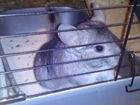 Chinchilla and cage.