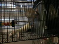 Three female rats and cage.