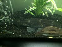 *Free to a good home* Large Common Pleco (Approx 10-12inches)