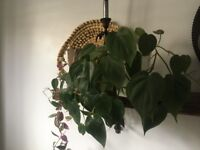 Indoor house plant philodendron scanden