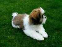 Absolutely Beautiful 17 week old Shih Tzu puppy for sale