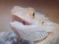 2 female bearded dragons for sale and vivarium