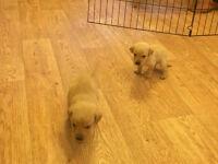 KC reg pedigree RED/ GOLDEN Labrador puppies, Ready in 1 week