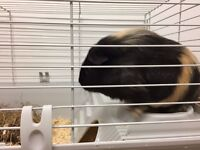 Male guinea pig for sale with cage