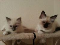 2 Ragdoll Kittens