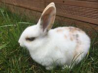 Dutch bunny rabbit for sale