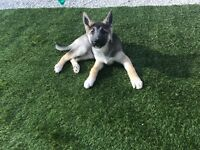 German Shepard puppy female 9 weeks old