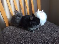 Netherland Dwarf babies rabbits