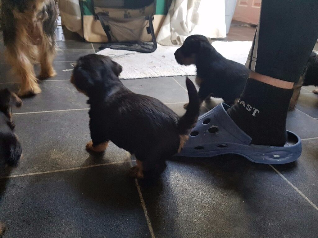 Mini Yorskhire Terrier Puppies £400