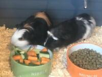 2 x 11 wk old female Guinea Pigs