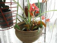 A spider plant and a begonia plant in hanging ceramic pot