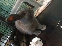 Grey Lop Eared Bunny for Sale