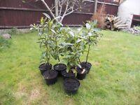 Laurel hedging plants - six for sale