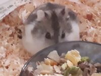 Male campbell dwarf hamster for sale