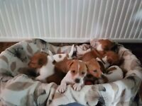 Well Marked Jack Russell Puppies for Sale