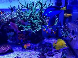 Corals for sale lps sps. Live rocks dry rocks for marine aquarium