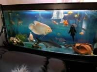 Very large pengasius catfish